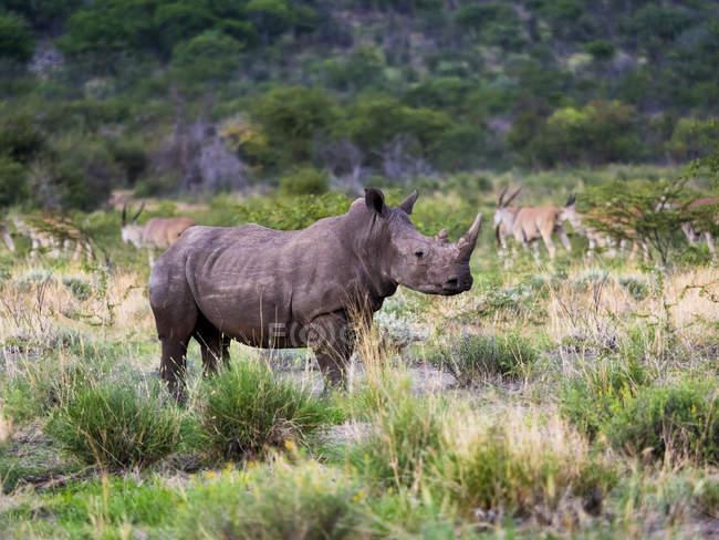 Нфебия, Оутжо, Онгава Дикая Резервация, Широкополосый носорог, Ceratotherium simum — стоковое фото
