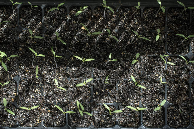 Top view of sprouting potted tomato plants in soil — Stock Photo
