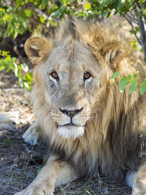 Ritratto di leone che riposa all'ombra, Parco nazionale di Etosha, Okaukuejo, Namibia — Foto stock