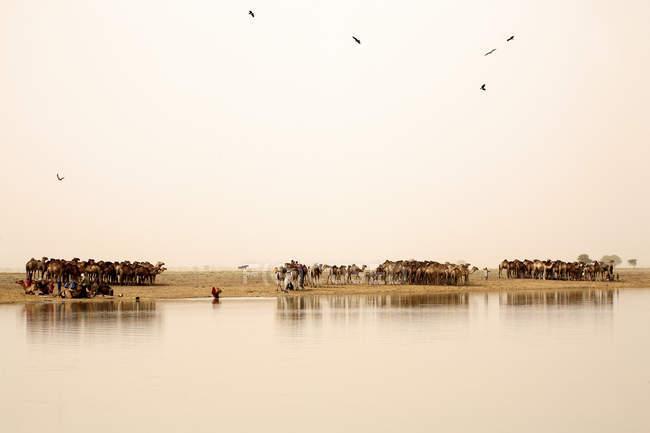 Tchad, Nomades avec leurs troupeaux de chameaux sur le lac Gara — Photo de stock