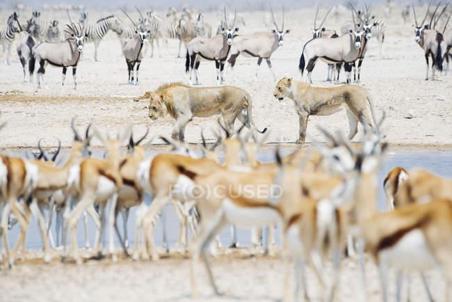 Löwen im Wasserloch, umgeben von Springböcken, Kudus und Zebras, Etoscha-Nationalpark, Namibia — Stockfoto