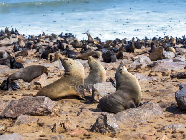 Намибия, мыса Кросс, уплотнения на берегу моря, Arctocephalus розовый — стоковое фото