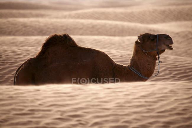 Туніс, dromedary в пустелі денний час — стокове фото