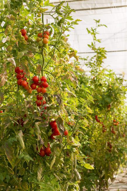 Tomaten wachsen auf Pflanzen — Stockfoto