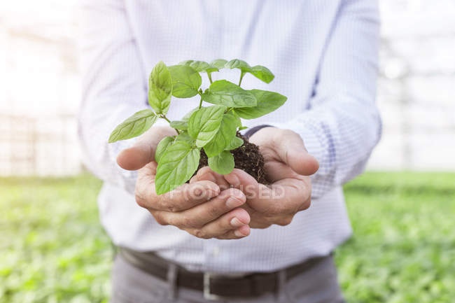 Man in greenhouse holding herbal plant — Stock Photo