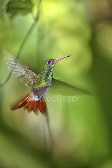 Ecuador, volando colibrì dalla coda rustica vicino ai fiori vista da vicino — Foto stock