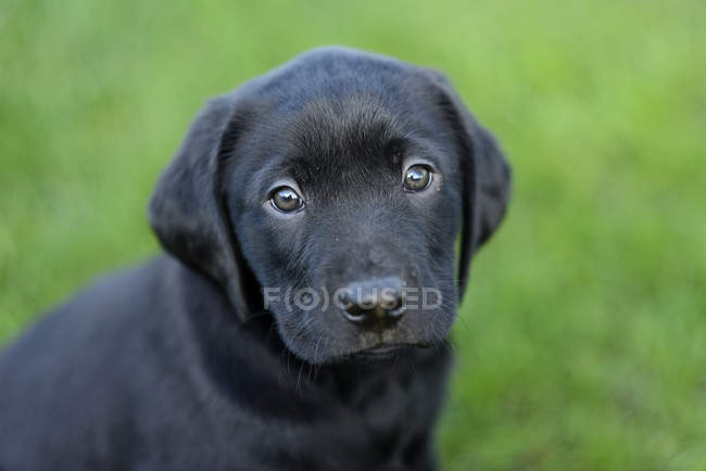 Portrait de chiots de Labrador noir — Photo de stock