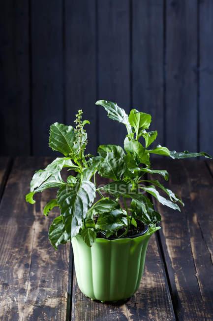 Pot de fleurs de basilic poivre vert — Photo de stock