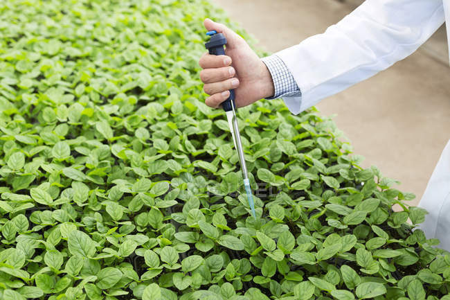 Scientist in greenhouse pipetting basil plants — Stock Photo