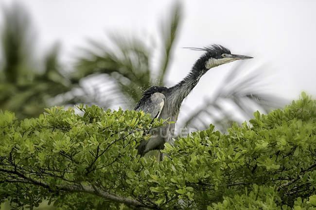 Кения, провинции Рифт-Валли, Голиаф цапля птица в дереве с водой падает на перья — стоковое фото