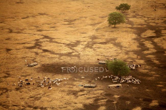 Чад, Национальный парк Закума, кочевники со стадами коров, вид с воздуха — стоковое фото