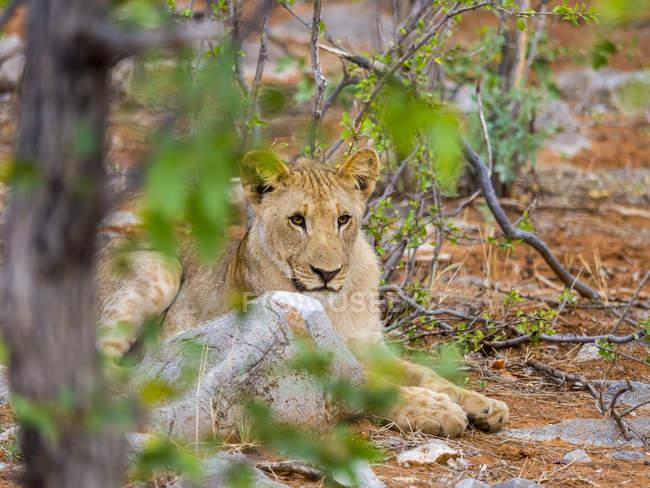 Namibia, Okaukuejo, Etosha Nationalpark, young lion lying among trees — Stock Photo