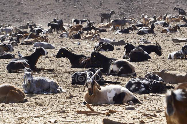 Mandria di capra domestica in zona arida dell'isola di Fuerteventura — Foto stock