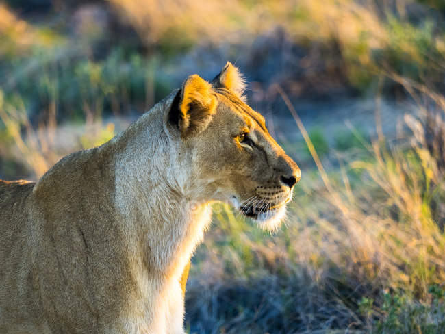 Namibia, Outjo, Ongava Wild Reservat, female lion muzzle side view in evening light — Stock Photo