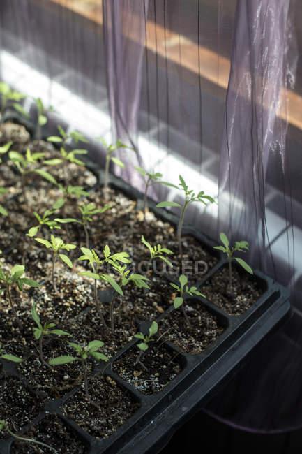 Kurz sprießen eingemachte Tomatenpflanzen — Stockfoto