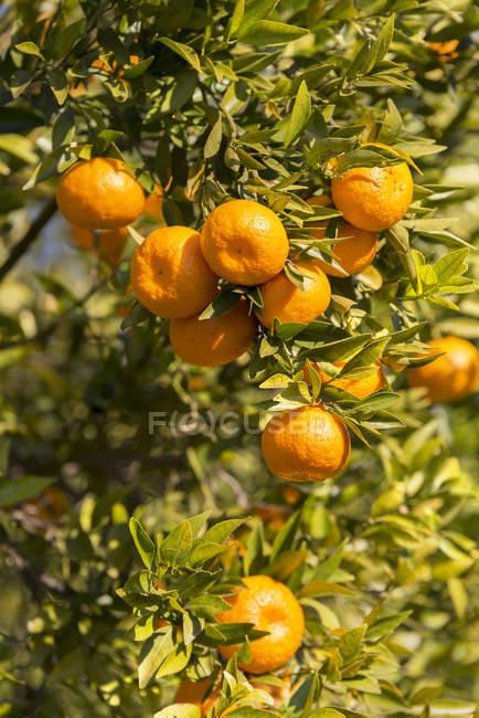 Close-up of organic ripe tangerines growing on tree — Stock Photo