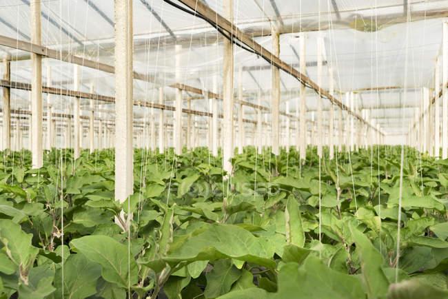 Eggplants growing in greenhouse — Stock Photo