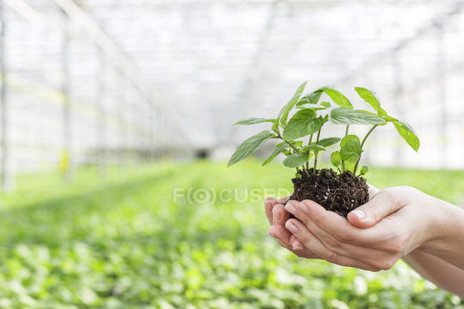 Hands in greenhouse holding herbal plant — Stock Photo