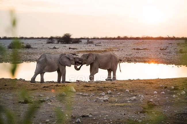 Namibia, Parco nazionale di Etosha, elefanti in una pozza d'acqua al tramonto — Foto stock