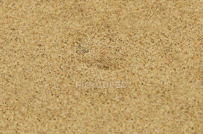 Namibia, Namib desert, Swakopmund, Sidewinder Snake hidden under the desert sand — Stock Photo