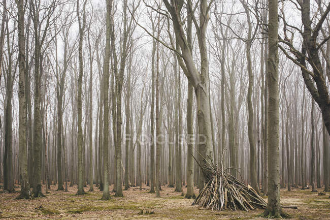 Germany, Nienhagen, Gespensterwald, view of forest and trees trunks — Stock Photo