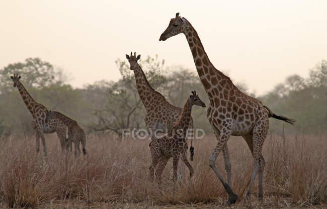 Chad, giraffe con animali giovani la sera — Foto stock
