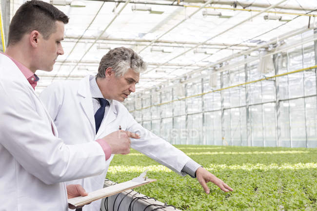 Two scientists in greenhouse examining mint plants — Stock Photo
