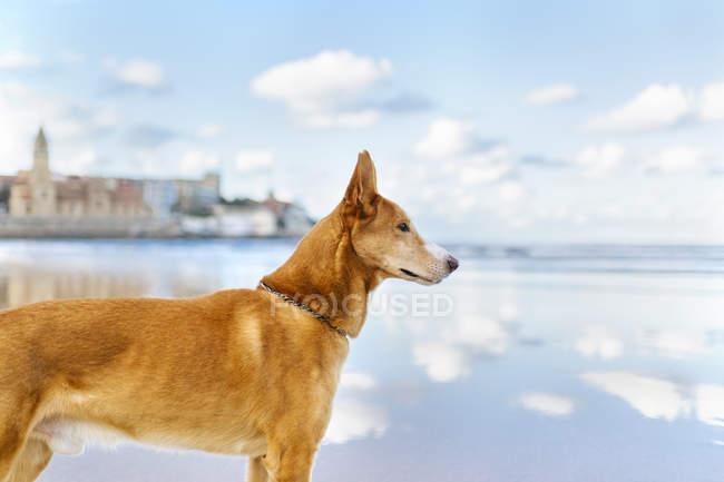 Chien debout sur la plage regardant quelque chose — Photo de stock