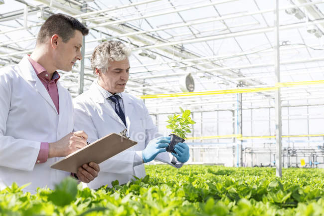 Two scientists in greenhouse examining basil plants — Stock Photo