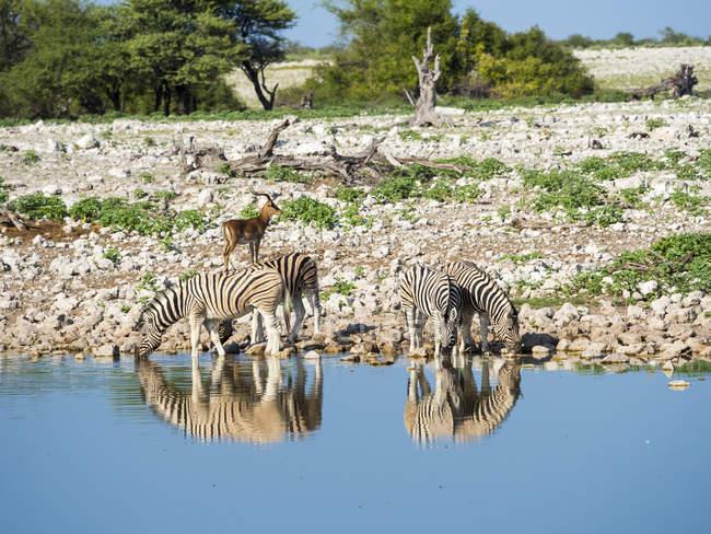 Намибия, Национальный парк Этоша, стадо зебр Берчелл в на Okaukuejo озере — стоковое фото