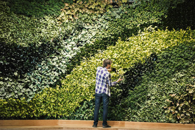 Young man standing in front of green plant wall, placing potted plant — Stock Photo