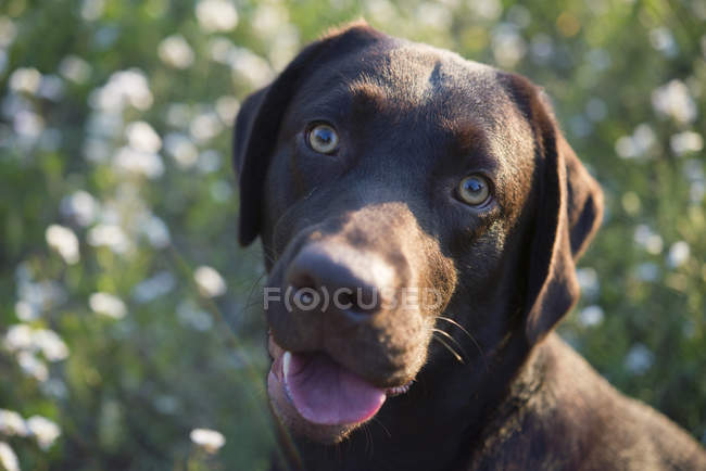 Portrait of Labrador Retriever dog — Stock Photo