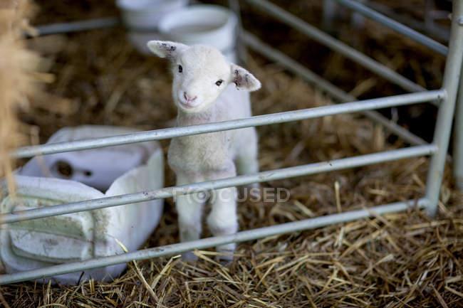 Ritratto di agnellino in allevamento di pecore — Foto stock