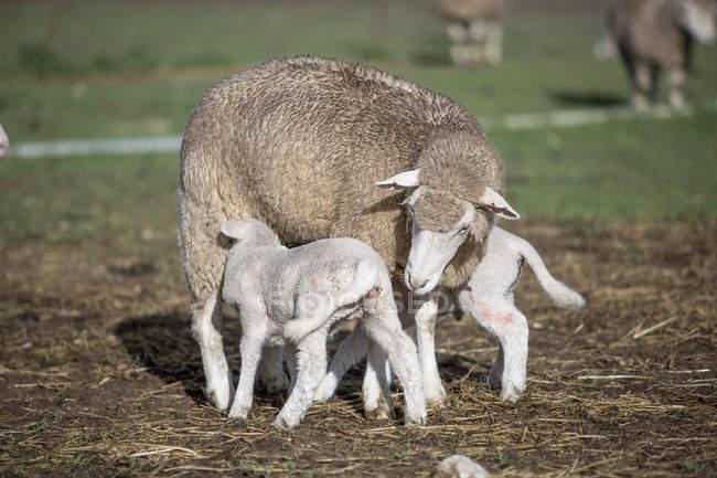 Pecore con gli agnelli in fattoria — Foto stock