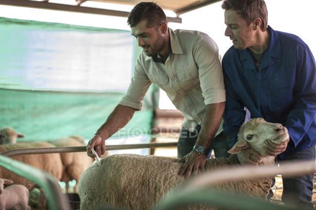 Veterinario che dà un'iniezione di pecora in fattoria — Foto stock