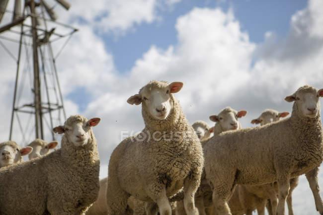 Отара овець, стоячи на відкритому повітрі і, дивлячись на камеру — стокове фото