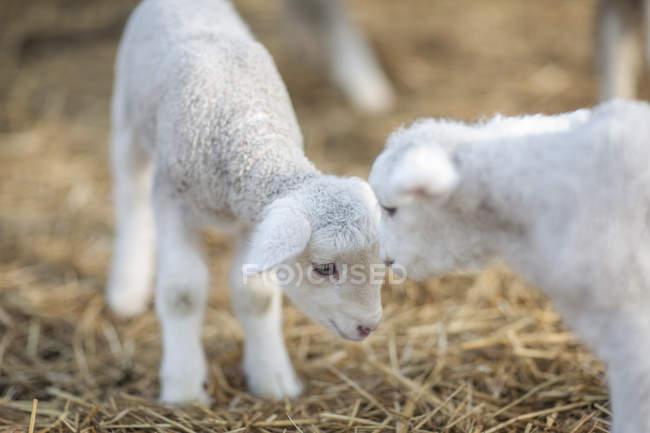 Due piccoli agnelli in allevamento di pecore — Foto stock