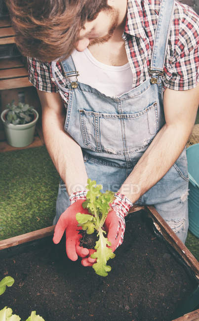 Young gardener planting lettuce in container — Stock Photo
