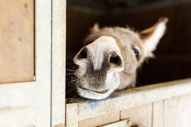 Asino che osserva dalla stalla — Foto stock