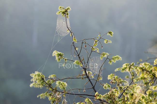 Traverser les toiles d'araignée dans un buisson de genévrier — Photo de stock
