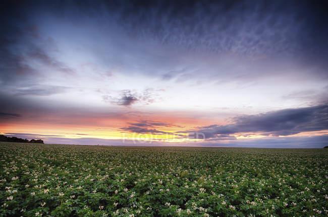 Escocia, East Lothian, puesta de sol sobre el campo de patatas durante el día - foto de stock