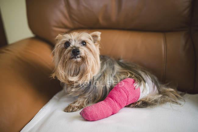 Yorkshire Terrier com a perna de gesso rosa sentado na poltrona de couro — Fotografia de Stock
