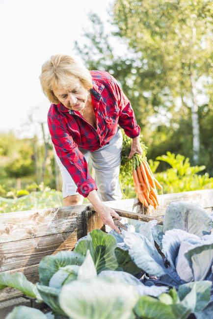 Senior woman gardening in vegetable patch — Stock Photo
