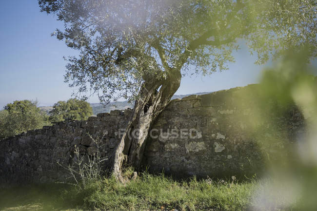 Italy, Tuscany, Maremma, olive tree at stone wall — Stock Photo