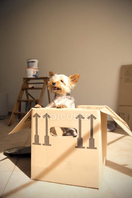 Dog standing inside cardboard box in room — Stock Photo
