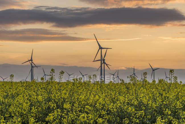 Wind farm and rape field at sunset — Stock Photo