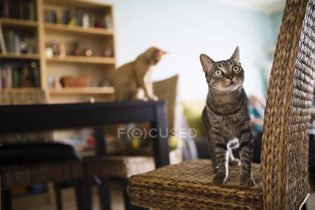 Tabby chat debout sur une chaise en osier et levant les yeux — Photo de stock