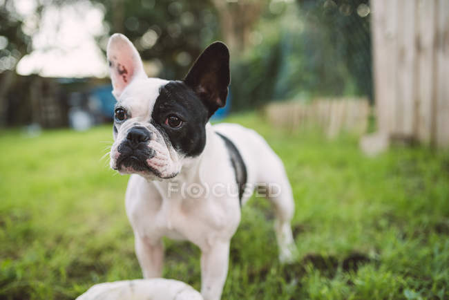 French bulldog standing on meadow and looking sideways — Stock Photo