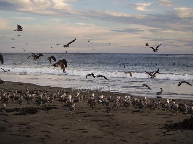 États-Unis, Californie, Plage de Pismo, troupeau de goélands marins sur une plage de sable fin au coucher du soleil — Photo de stock