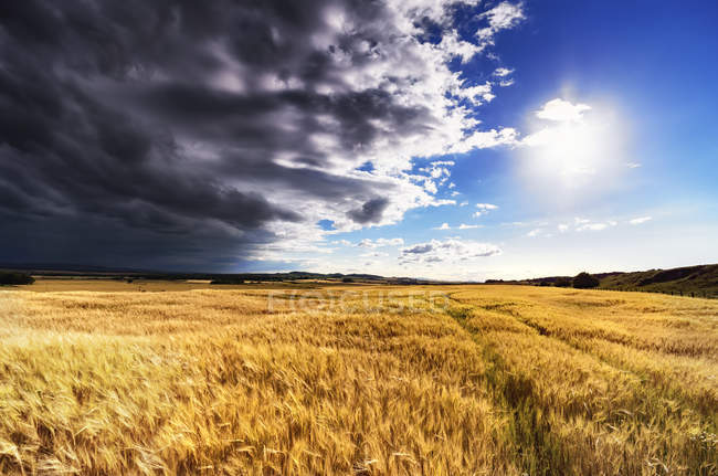 Scotland, East Lothian, Field of barley against the sun — Stock Photo
